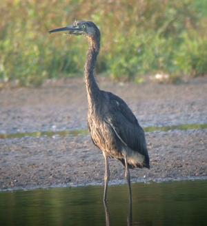 EASTERN GREY HERON