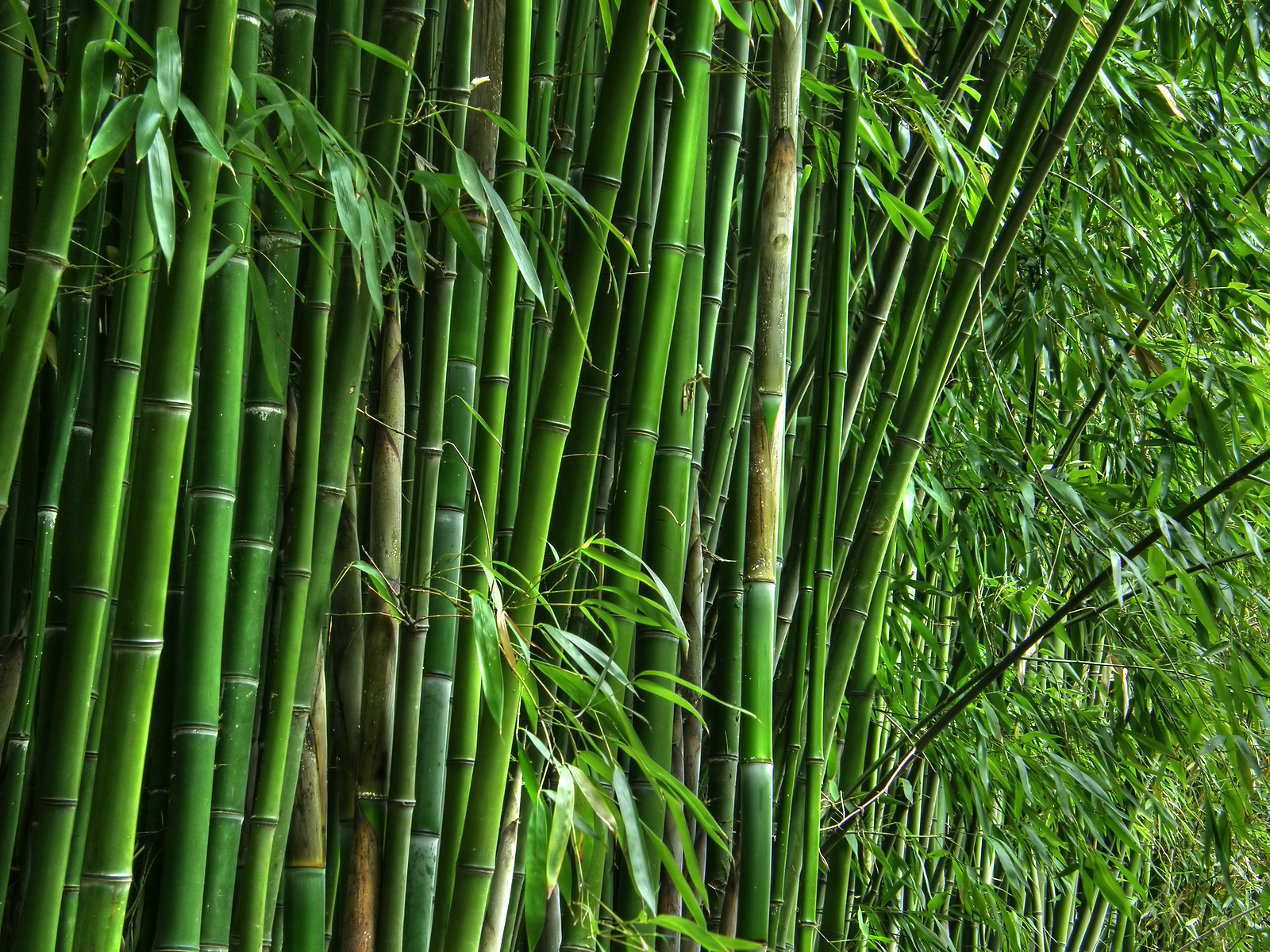 Bamboo Species in Kerala